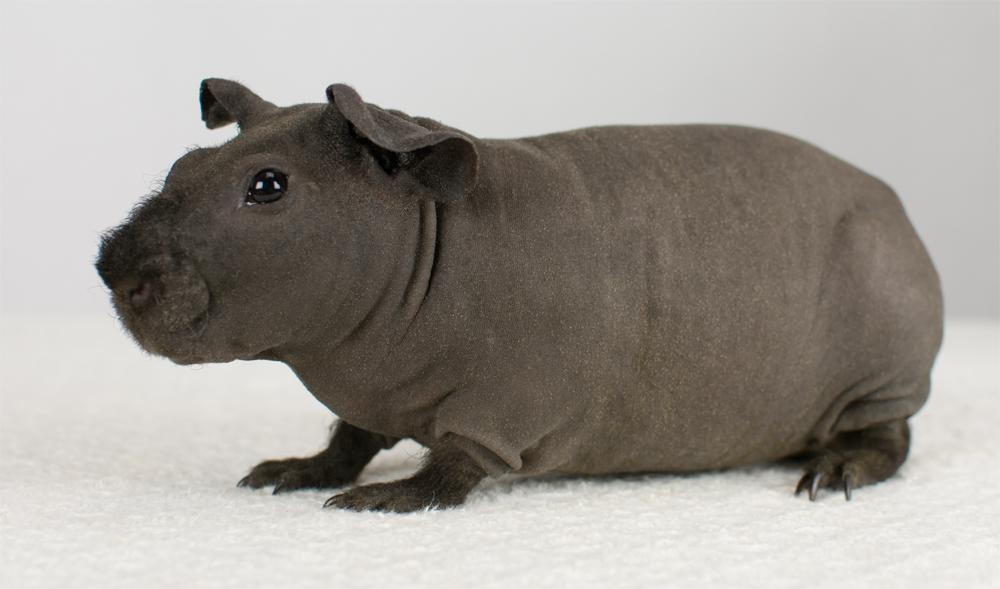 ピッグ スキニー スキニーギニアピッグを飼いたい!特徴や性格、飼育の注意点を紹介
